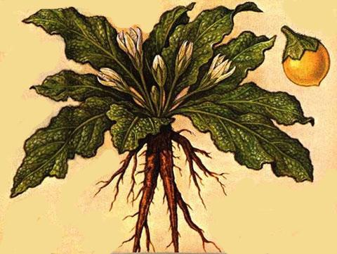 Mandrake-Plant-