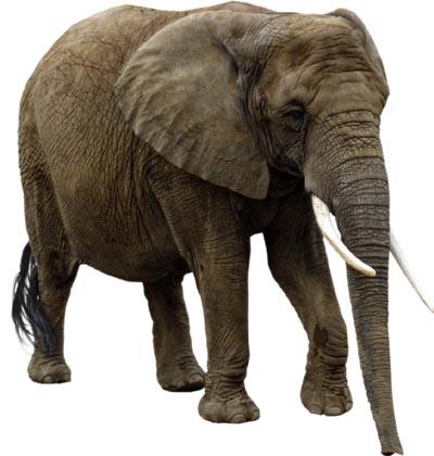 elephan--t