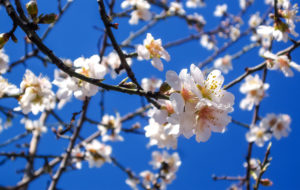 Almond in Flower